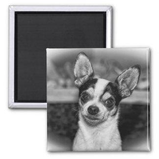 Chihuahua Quadratischer Magnet