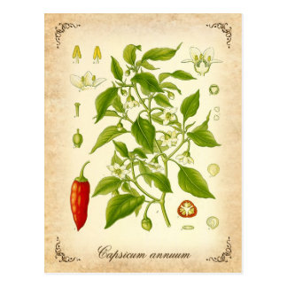 Chili-Pfeffer - Vintage Illustration Postkarte