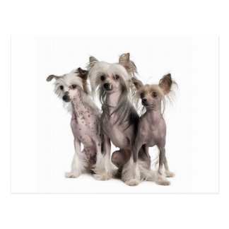 Chinese Crested Postkarten