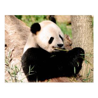Chinesischer Panda Postkarten