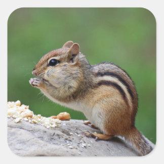 Chipmunk, der Nüsse isst Quadratischer Aufkleber