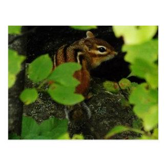 Chipmunk in Waren Vermont Postkarte