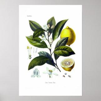 Citrus Limonum (Zitrone) Poster