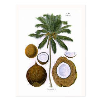 Cocos nucifera (Kokosnusspalme) Postkarte