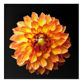 Dahlie-Blumen-Acrylwand Art. Acryl Wandkunst
