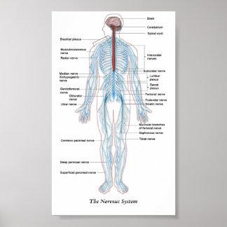 Das Nervensystem Poster