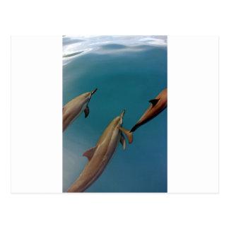 Delphine, die in der tropischen Lagune Tahiti Postkarte