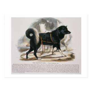Der Esquimaux Hund (Canis familiaris) Postkarte