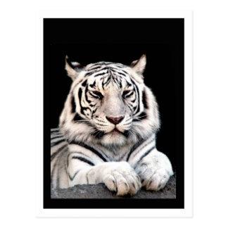 Der weiße bengalische Tiger Postkarte
