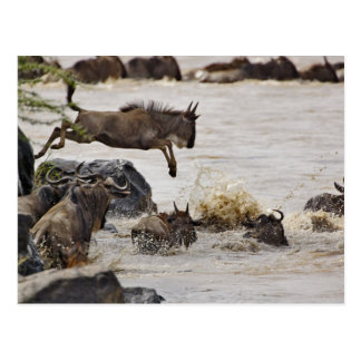 Der Wildebeest springend in Mara-Fluss während Postkarte