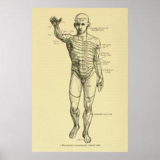 Dermatomes Nervensystem-Diagramm-Chiropraktik Poster