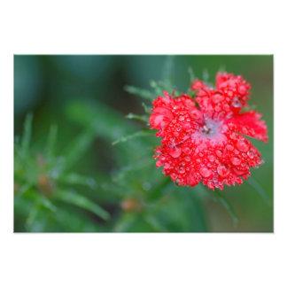Dianthus-Blume nach einem Regen Fotografien