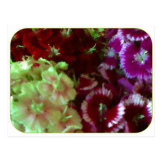 Dianthus-Gemisch Postkarte