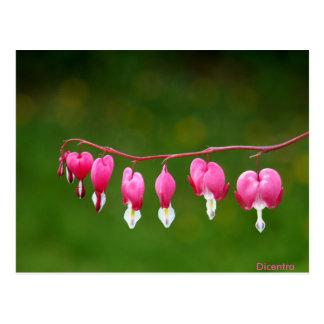 Dicentra - rosa Herz-Form-Blumenpostkarte Postkarte