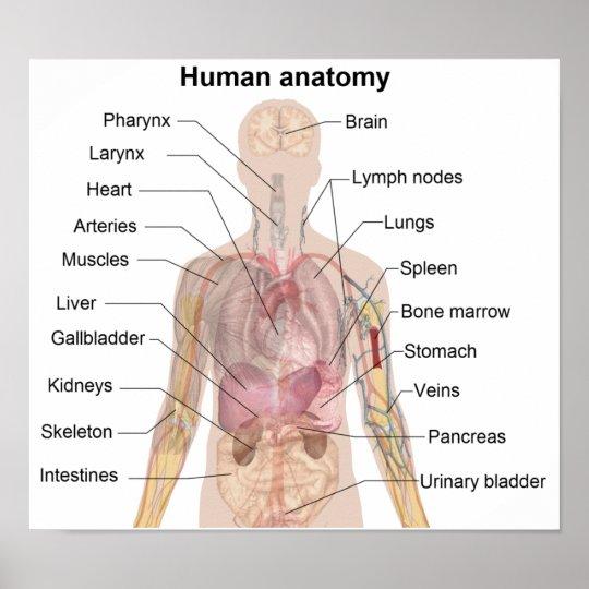 Die menschliche Anatomie Poster   Zazzle.at