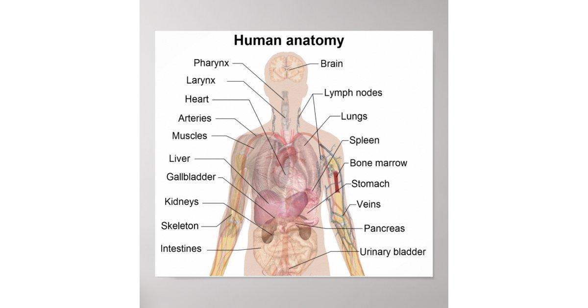 Die menschliche Anatomie Poster | Zazzle.at
