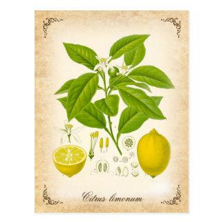 Die Zitrone - Vintage Illustration Postkarten