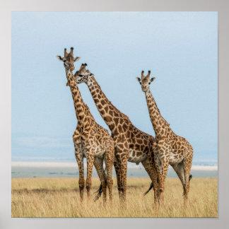 Drei Giraffen-Aufstellung Poster