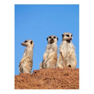 Drei meercats, die heraus aufpassen postkarte