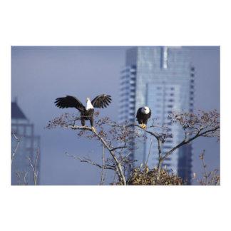 Ein guter Schuss eines Paares Weißkopfseeadler Foto