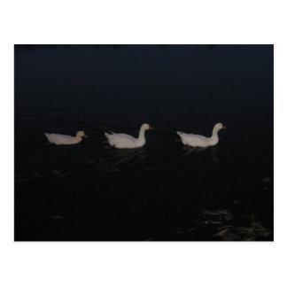 Ein Trio der weißen kanadischen Gänse Postkarte