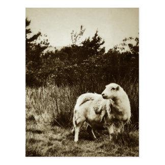 Einzige Schafe Postkarte