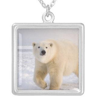 Eisbär, Ursus maritimus, auf Eis und Schnee, 2 Versilberte Kette