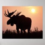 Elche, Alces Alces, Stier mit den großen Geweihen, Plakatdruck