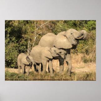 Elefant-Familien-Trinken Poster