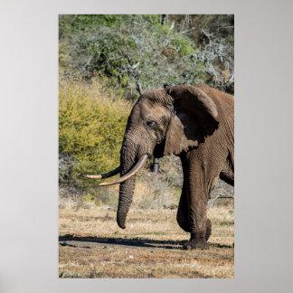 Elefant mit den langen Stoßzähnen Poster