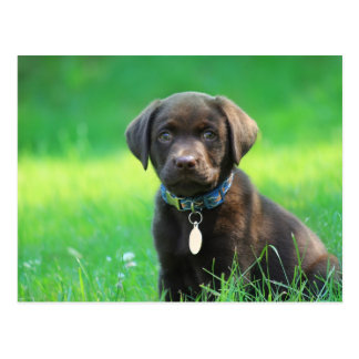 Entzückender Schokoladen-Labrador-Welpe Postkarte