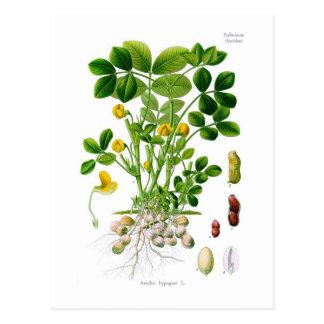 Erdnuss hypogaea (Erdnuss) Postkarte