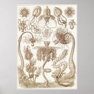 Ernst Haeckel-Kunst-Druck: Tubulariae Poster