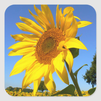 Feld der Sonnenblumen, Sonnenblume Quadratischer Aufkleber