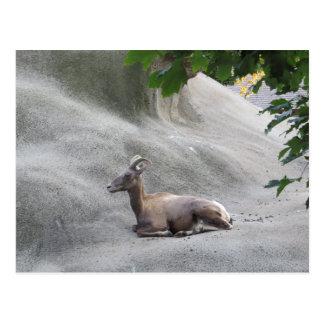 Felsiger GebirgsBig Horn-Schafe Postkarte