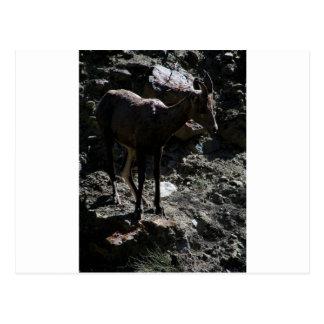 Felsiger GebirgsBighorn-Schafe, Mutterschaf Postkarte