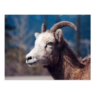 Felsiger GebirgsBighorn-Schafe Postkarte