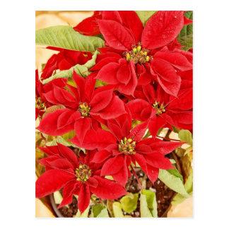 Festliche rote Poinsettias Postkarte
