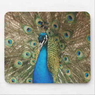 Foto des schönen Pfaus mit verbreiteten Federn Mauspad