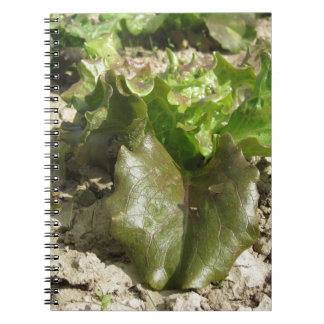 Frischer Kopfsalat, der auf dem Gebiet Toskana, Spiral Notizblock