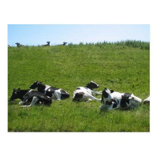 Frisian-Holstein-Kühe Postkarte