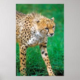 Gepard-anpirschendes Opfer Poster