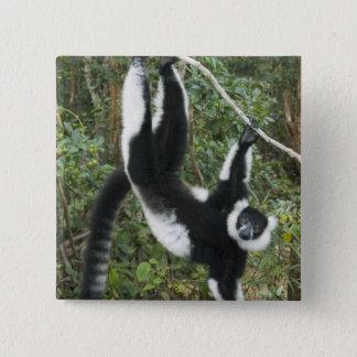 Getrumpfter Schwarzweiss-lemur, (Varecia Quadratischer Button 5,1 Cm