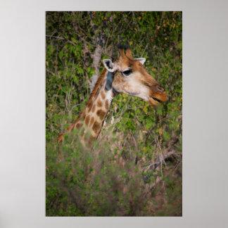Giraffe, die Blätter isst Poster