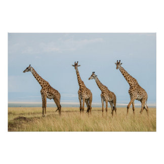 Giraffen-Herde in der Wiese Poster