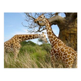 Giraffenpaare Postkarten
