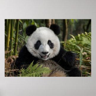 Glücklicher junger Panda, China Poster