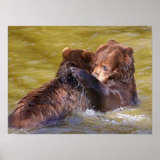 Graubären im Wasser Poster