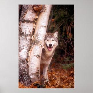 Grauer Wolf hinter einem Baum Poster