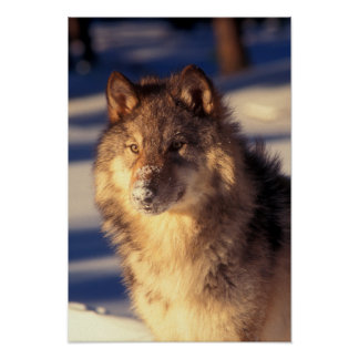 Grauer Wolf im Schnee Poster